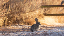 A Cottontail Rabbit Soaks Up Some Warmth From The Early Morning Sun On A Frosty Winter Morning With A Dusting Of Snow On The Ground And Brown Grass And Bushes In The Background.