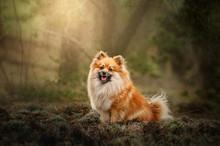 Spitz Dog Beautiful Portrait I...