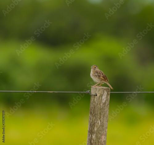 Pájaro Gris posado en poste de alambrado Canvas Print