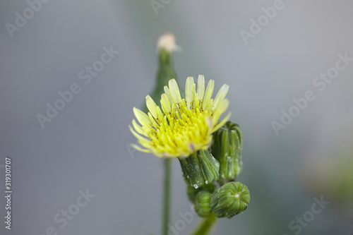 Photo A blooming Common Sowthistle flower set against a very soft blurry background