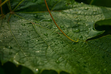 Grape Leaves After Rain In Sum...