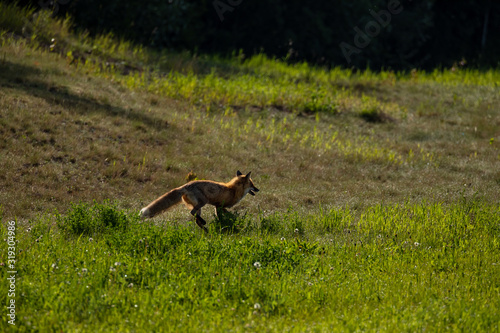 A Red Fox on a Meadow