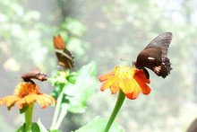 Butterfly Heraclides Anchisia...