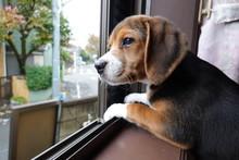 犬 中型犬 子犬 ビーグル 室内 家庭犬 窓辺 見送り