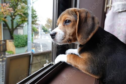 犬 中型犬 子犬 ビーグル 室内 家庭犬 窓辺 見送り Poster Mural XXL