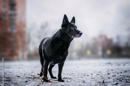 Fotografija black shepherd