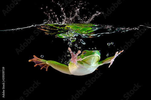 Photo Whitelipped frog in the water, swimming frog, Whitelipped frog swimming