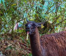 Alpaca Or Lama Chewing On Bamb...