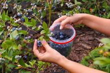 Blueberry Plantation (Highbush...