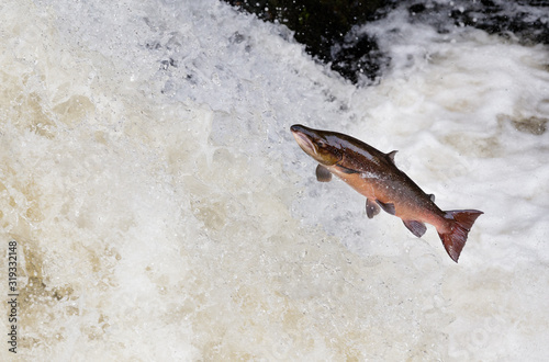 large male Atlantic salmon leaping on water fall Fototapete