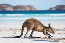 A Feeding Young Kangaroo On The Beach At Lucky Bay In The Cape Le Grand National Park, Near Esperance, Western Australia