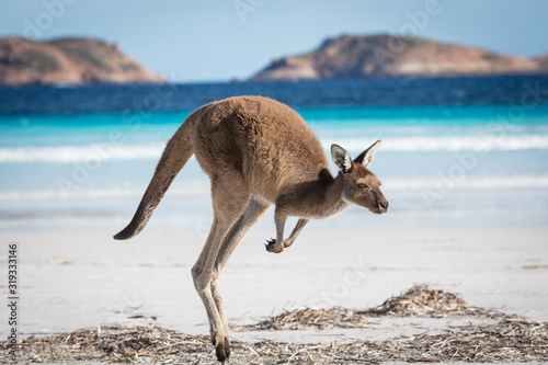 Fototapeta A kangaroo hopping along on the beach at Lucky Bay in the Cape Le Grand National