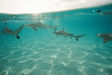 Black Tip Reef Sharks Swimming In Tropical Lagoon