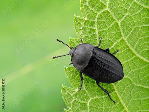 Photo P1010010 Heterosilpha ramosa, Garden Carrion Beetle cEC 2019