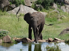 Elephant Drinking With Trunk D...