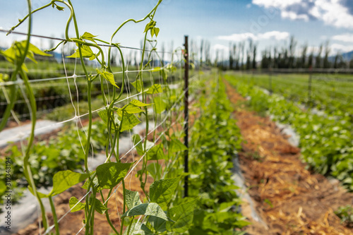 Fotomural selective focus on sugar or climbing pea leaves, tendrils growing up on agricult