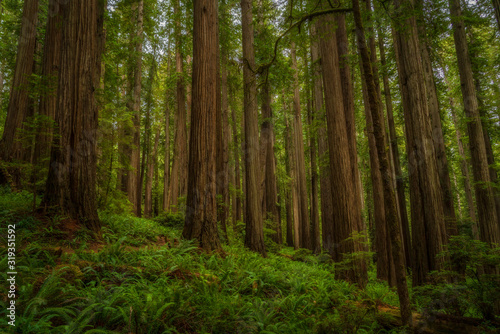Glowing Forest in the Redwoods - Redwoods National Park