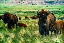 Wild Buffalo With Babies On A Rainy Day In The Grasslands Of Antelope Island State Park Near Salt Lake City, Utah USA.