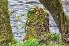 Saprophytic Fungi, Coriolus Ve...