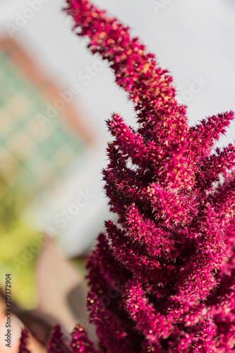 Photo close up of amaranth plants on a sunny day, selective focus