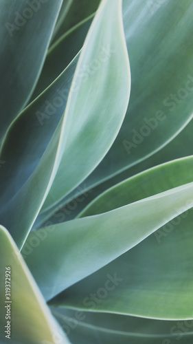 Obraz Soft focus on agave plant, different shades of green leaves - fototapety do salonu
