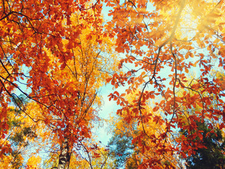 Fototapeta Drzewa autumn background forest with oak birch trees and sunny beams