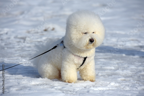 Fototapeta Bichon frize breed  white color