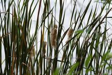 Swamp Grass, Cattail Fluff See...