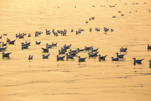 Seagulls Floating On The Sea S...