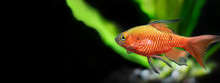 Tropical Aquarium Fish Longtai...