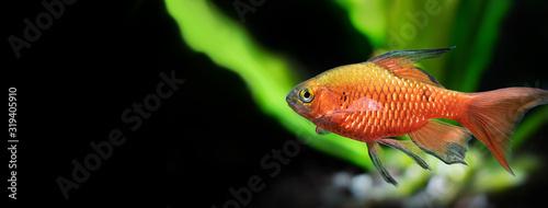 Fotomural Tropical aquarium fish longtail barb Pethia Conchonius