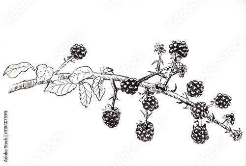 Hand drawn branch with dewberry, raspberry, blackberry Fototapeta