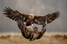 Isolated White Tailed Eagle Wi...