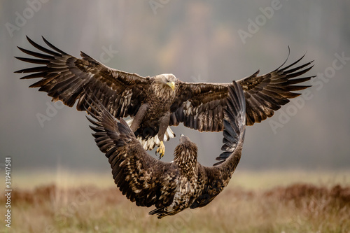 Isolated white tailed eagle with fully open wings Wallpaper Mural