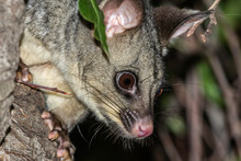 Common Brushtail Possum In A G...
