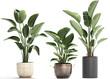 tropical plants Strelitzia in a pot on white background