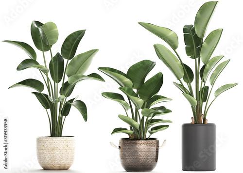Fototapeta tropical plants Strelitzia in a pot on white background obraz