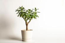 Succulent Houseplant Crassula ...