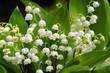 Maiglöckchen Blume Mai Convallaria majalis Maieriesli Garten Blume Zierpflanze giftig Bärlauch Verwechslung Glocken klein weiß beliebt gefährlich Frühling Bote Symbol grün mini