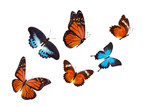 flock of tropical  butterflies isolated on a white