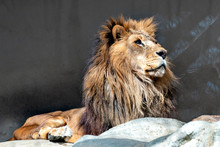 Male Lion (Panthera Leo) In Ja...