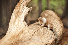 Horizontal Portrait View Of Grey Squirrel Sitting On Lag And Looking Away In Yosemite National Park, California, United States Of America, USA. Furry Mammal In Wildlife