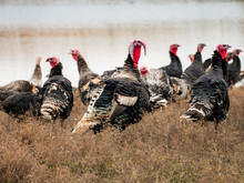 Wild Turkey (Meleagris Gallopa...