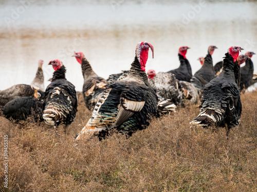 Cuadros en Lienzo Wild Turkey (Meleagris gallopavo) graze onfield next to river