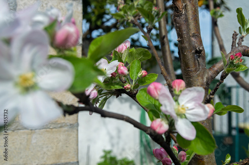 Papel de parede These beautiful apple blossoms are born in the spring to make way for a wonderful and tasty fruit that is the apple