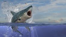 Aggressive Great White Shark I...