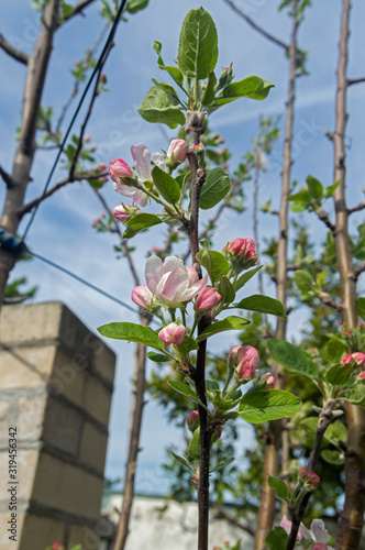 Tela These beautiful apple blossoms are born in the spring to make way for a wonderful and tasty fruit that is the apple