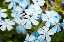 Natural Beautiful Small Blue Jasmine Flowers With Green Leaves