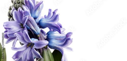 Hyacinth on white. Canvas Print