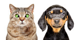 Fototapeta Zwierzęta - Portrait of cat and dog with eye diseases isolated on a white background